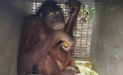 dua-individu-orangutan-masuk-ke-pemukiman-warga-di-desa-teluk-harapan-kecamatan-serawai